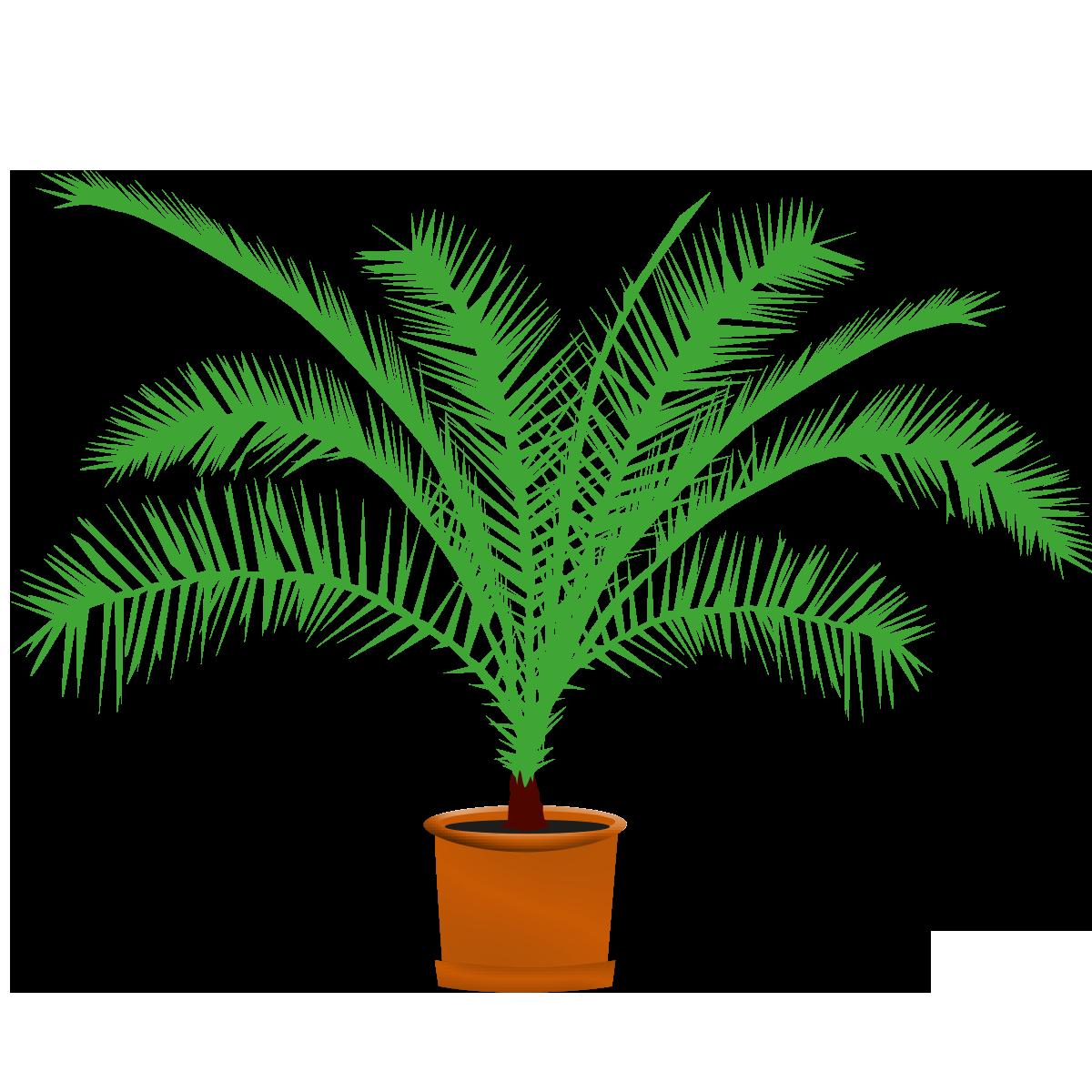 Palmen/Dekoplanzen, lebend, 1.50 m ++